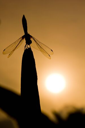 silhouette of dragonfly and sun background photo