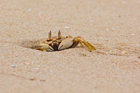 crab with extended eyestalk on the beach photo