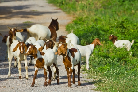 group goats on the road
