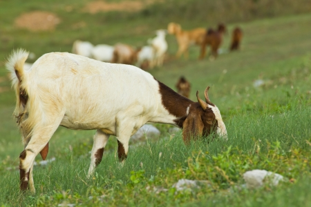 goats eats grass in the meadow photo