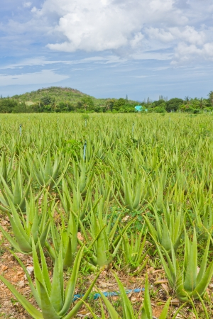 cultivation of aloe vera plantation Stock Photo