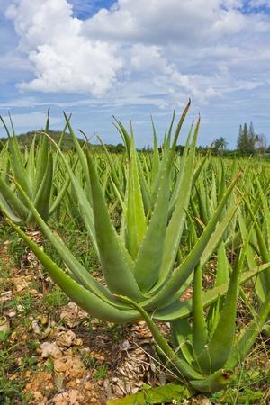 cultivation of aloe vera plantation Stock Photo