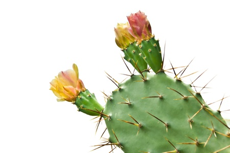 blooming flower and Thorny leaf of the prickly pear cactus plant photo