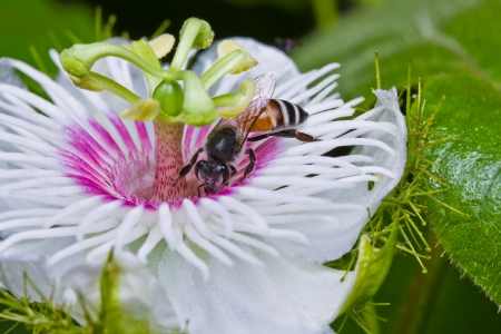 passionflower: Honey bee in the passionflower