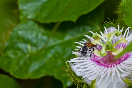 Honey bee in the passionflower photo
