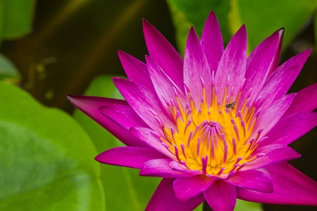 Close up of pink lotus flower with little bee in a pond photo