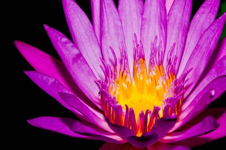 Close up of pink lotus flower in a pond Stock Photo - 14876890