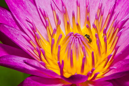 Close up of pink lotus flower with little bee in a pond Stock Photo - 14876893