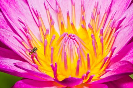 Close up of pink lotus flower with little bee in a pond Stock Photo - 14876887