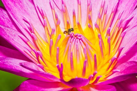 Close up of pink lotus flower with little bee in a pond Stock Photo - 14876888
