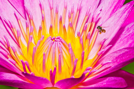 Close up of pink lotus flower with little bee in a pond Stock Photo - 14876889