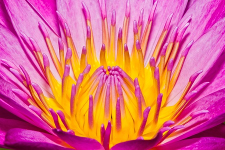 Close up of pink lotus flower in a pond Stock Photo - 14876891