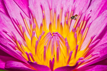 Close up of pink lotus flower with little bee in a pond Stock Photo - 14876894