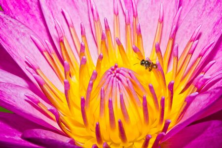 Close up of pink lotus flower with little bee in a pond Stock Photo - 14876892
