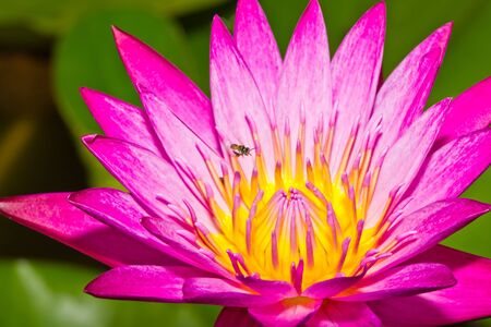 Close up of pink lotus flower with little bee in a pond Stock Photo - 14876885
