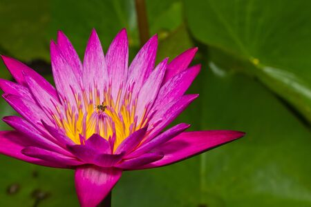 Close up of pink lotus flower with little bee in a pond Stock Photo - 14876882