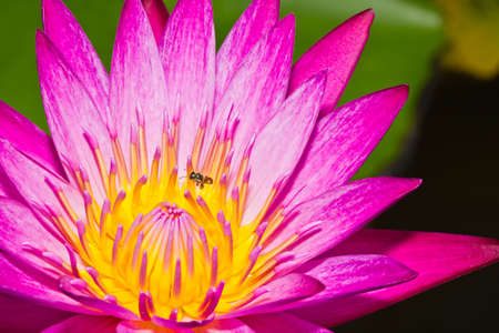 Close up of pink lotus flower with little bee in a pond Stock Photo - 14876920