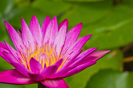 Close up of pink lotus flower in a pond Stock Photo - 14876896