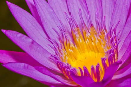 Close up of pink lotus flower in a pond Stock Photo - 14876901