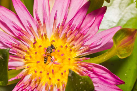 Close up of pink lotus flower and bee in a pond photo