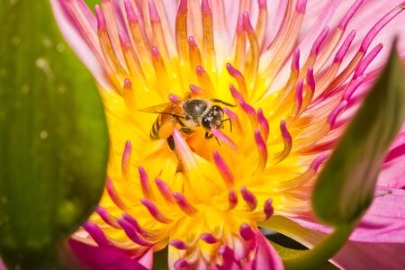 Close up of pink lotus flower and bee in a pond Stock Photo - 14876922