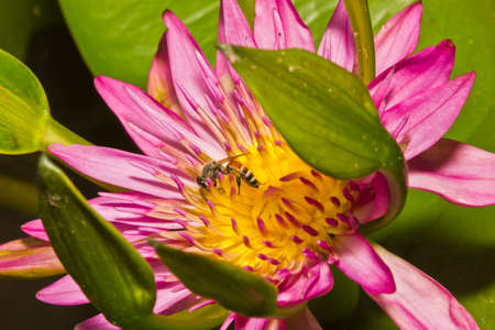 Close up of pink lotus flower and bee in a pond Stock Photo - 14876935