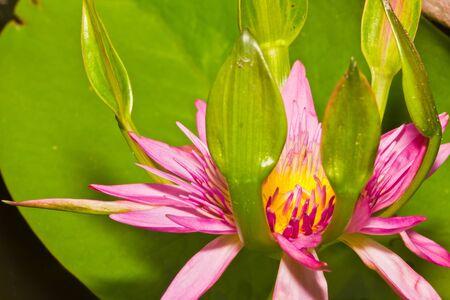 Pink nang kwak water lily,thailand photo