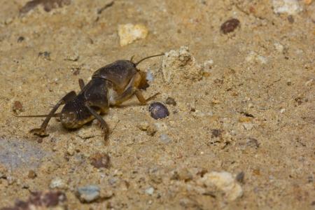 saboteur: Mole Cricket on the ground,thailand