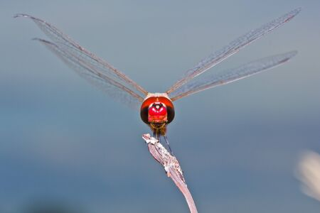 close up of dragonfly on branch Stock Photo - 14876925