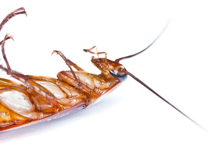 Close up of a death cockroach on white background Stock Photo