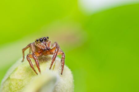 close up of jumper spider photo