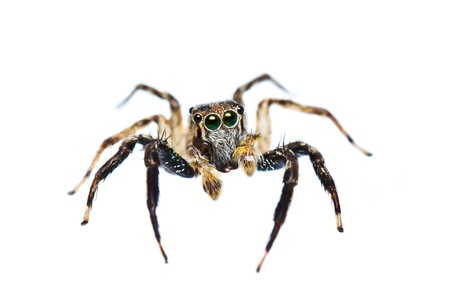 isolated of jumper spider on white background