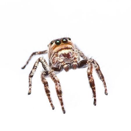 close up of jumper spider on white background photo