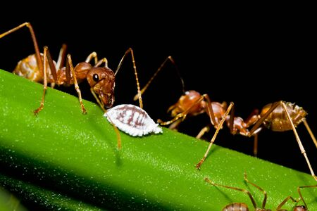 Red ants and white aphid
