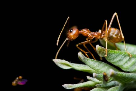 Red Ants and fruit fly photo