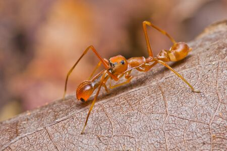 Close up of red ant mimic jumper spider photo