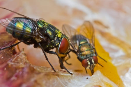 close up of fly eating dried fish photo