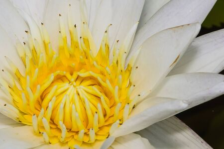 Close up of white lotus flower photo