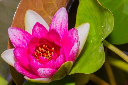 Close up of pink lotus flower in a pond photo
