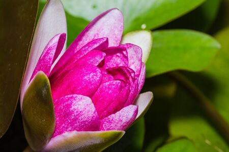 Close up of pink lotus flower in a pond Stock Photo - 15098590