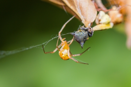 Spider with its prey in the web
