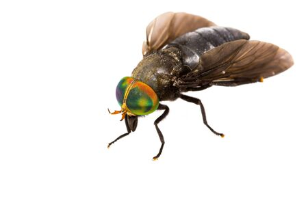 horse fly: Close up of horse fly on white background