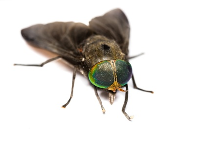 Close up of horse fly on white background photo