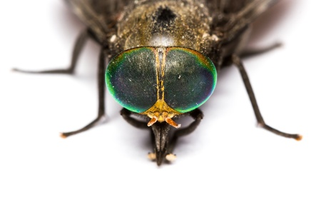 horsefly: Close up of horse fly on white background