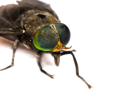 Close up of horse fly on white background