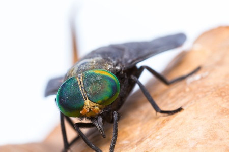 Close up of horse fly photo