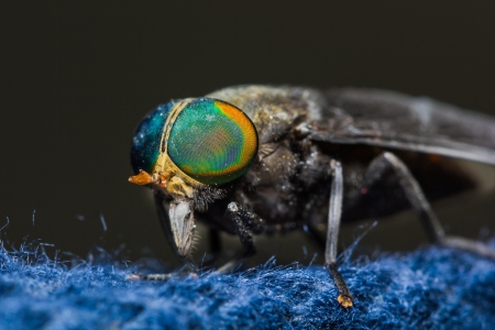 horse fly: Close up of horse fly Stock Photo
