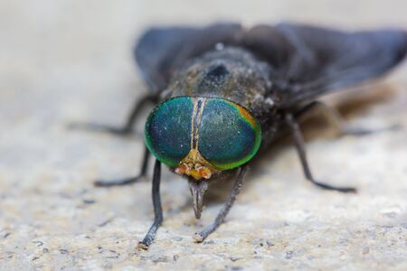 Close up of horse fly Stock Photo - 15258660
