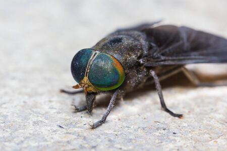 Close up of horse fly Stock Photo