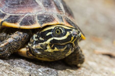 terrapin: Close up of Malayan snail-eating turtle or rice field terrapin